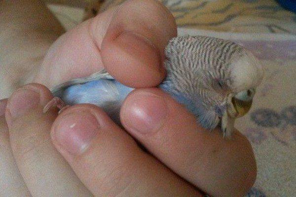 У попугая отказала лапка: что делать?